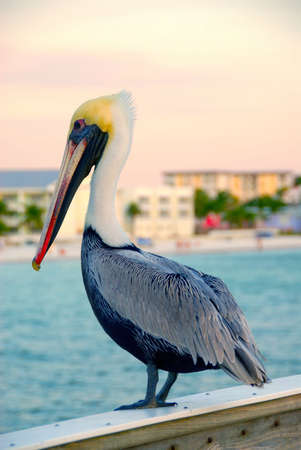 pelecanidae: A pelican sits on the railing of the pier at Ft Meyers Beach Florida, looking into the ocean for fish.