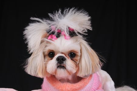 Shih Tzu Dog wearing an orange and pink sweater and bows in her pigtails, sitting pretty.