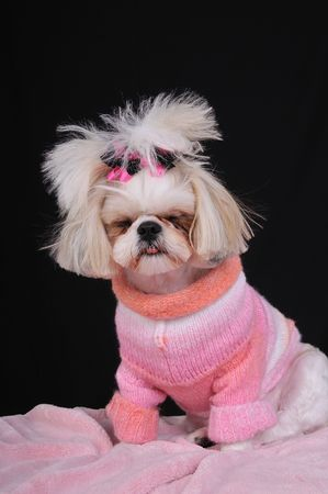 Shih Tzu Puppy wearing a sweater and bows in her pigtails, falling asleep while modeling and sitting up.  Falling asleep on the job.  Dog Tired.