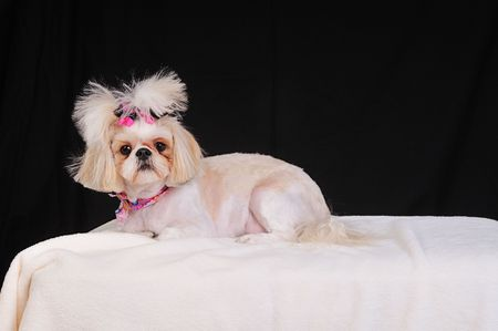 Shih Tzu Dog with a short summer haircut and bows in her pigtails.