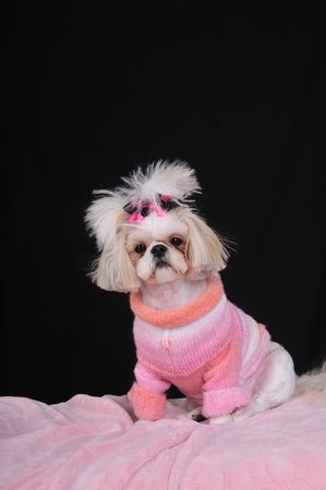 Fashionable Shih Tzu Dog wearing an orange and pink winter sweater and bows in her pigtails, sitting pretty.
