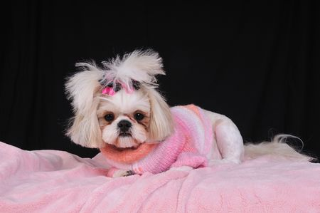 Shih Tzu Puppy wearing an orange and pink winter sweater and bows in her pigtails, lying on her pink fluffy blanket. Stock Photo