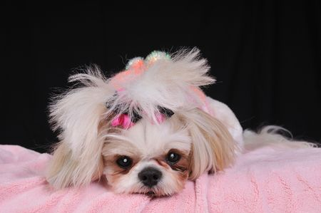 Shih Tzu Puppy Eyes - close-up shot of her big round eyes while shes lying down on her pink blanket. Stock Photo