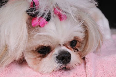 Shih Tzu Puppy Eyes - close-up shot of her big round eyes and her pouting expression. Stock Photo