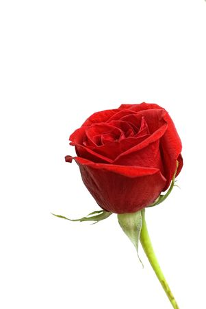 One beautiful single red rose isolated on a white background.