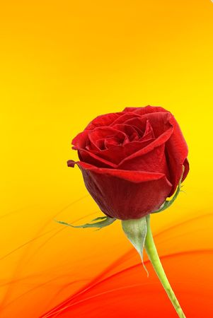 One beautiful single red rose isolated on a red and yellow background.