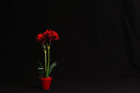Amaryllis in Bloom - Beautiful Amaryllis plant with red flowers on a black draped cloth backdrop.