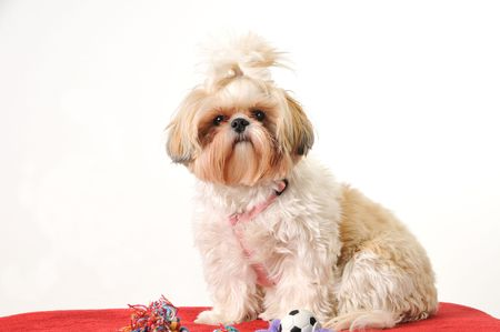 A Shih Tzu puppy sitting for a portrait with her toys.