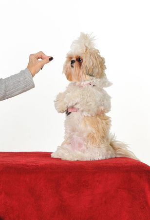 sit: A dog trainer teaching a puppy to sit up for a treat.