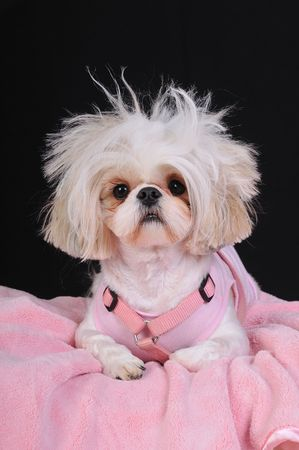 bad hair day: A Shih Tzu Dog with wild hair, having a bad hair day.