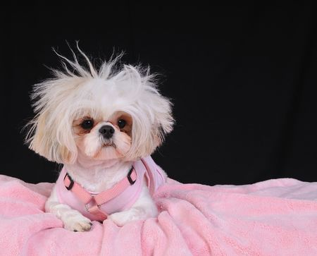shih: A Shih Tzu Dog with wild hair, having a bad hair day.