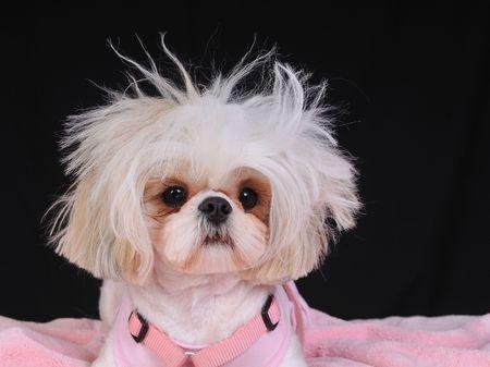 wild hair: Un Shih Tzu Cane selvatico con peli, capelli con una cattiva giornata.