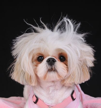 A Shih Tzu Dog with wild hair, having a bad hair day. photo