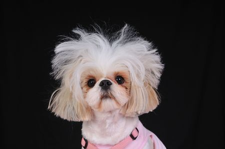 A Shih Tzu Dog with wild hair, having a bad hair day.