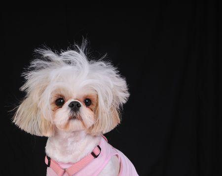 wild hair: Un cane Anjing con capelli selvaggi, avendo un giorno male i capelli.