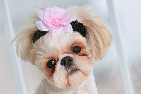 Shih Tzu Puppy Eyes - close-up shot of a sweet little female Shih Tzu with a flower in her hair and a sweet expression. Stock Photo