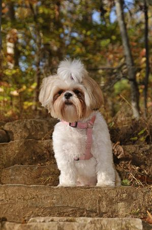behave: Shih Tzu Dog sitting on rock stairs in the woods in autumn. Stock Photo