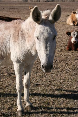 jack ass: A donkey on a farm.  There is a herd of cows in the background. Stock Photo