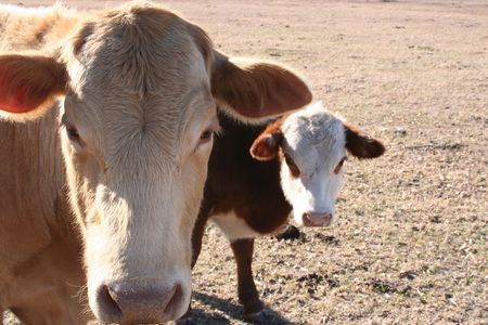 heffer: A cow and a calf grazing on a farm.