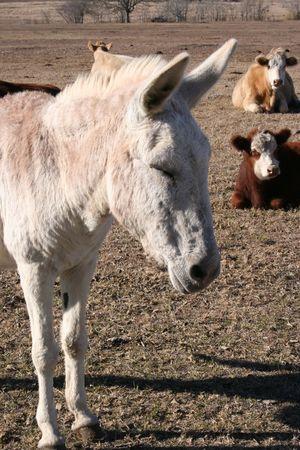 jack ass: Un asino in una fattoria. Vi � una mandria di mucche in background.