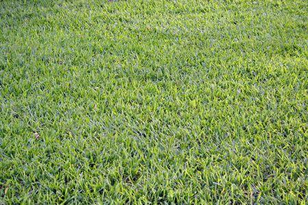 cut grass: Fresh cut green grass.