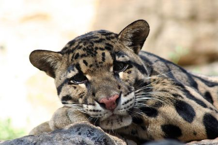 A spotted cat at the zoo laying down on a rock. photo