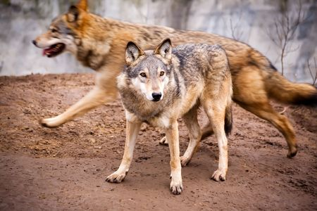 Two active wolves in a zoo in the city of Kiev