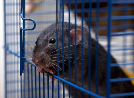 The clever house rat is going to get away from a cell photo