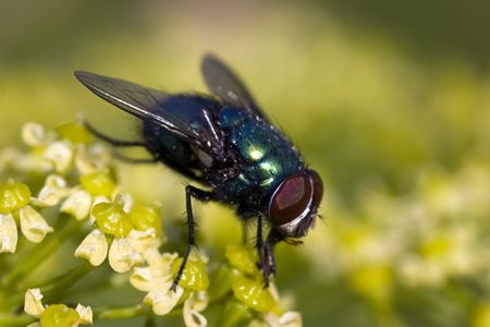 compound eyes: Fly in complete growth on a summer flower