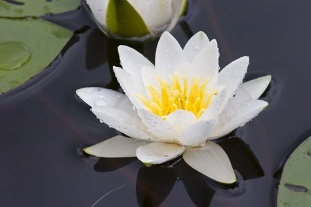 Water lily in a sunny day on lake Stock Photo