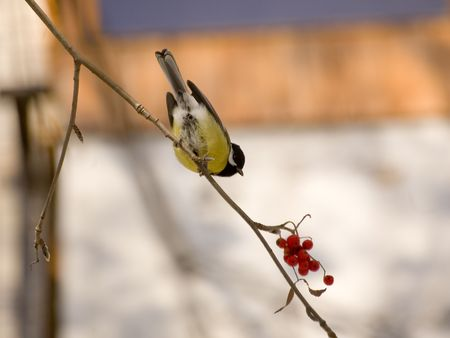 sorb: Blue titmouse on the branch of wild ash