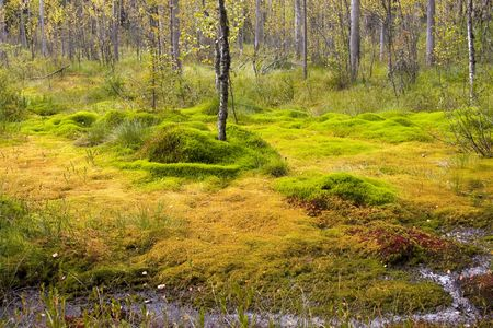 Bright-green bog in the summer in Kareliya photo