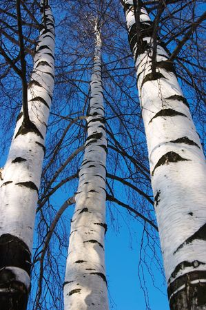 Three birches in clear winter day photo