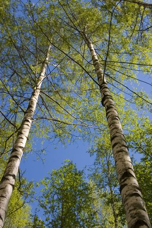 The first gentle foliage on birches in the spring