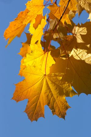 Maple under the sky in a sunny day in the autumn Stock Photo