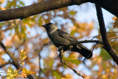 Jackdaw on a background of autumn in park in St.-Petersburg Stock Photo - 747963
