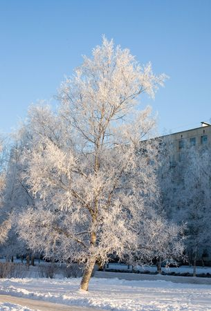 The birches covered by hoarfrost in frosty winter morning on a background of the sky