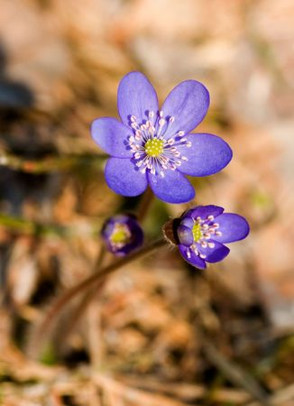 The first spring flower in a forest in Kareliya Stock Photo - 762787