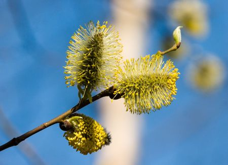 catkins: The first blossoming catkins on a willow in the spring Stock Photo