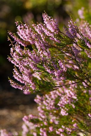 peaty: Thrickets of a heather in a clear sunny day Stock Photo