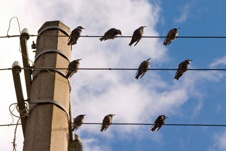 Group of starlings on wires on a background of the sky photo