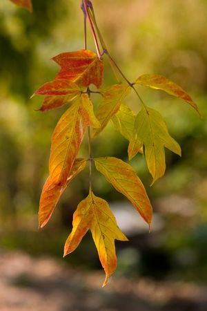 Autumn leaves in an evening soft sunlight photo