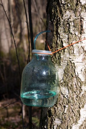 polythene: Handicraft extraction of birch sap in the spring