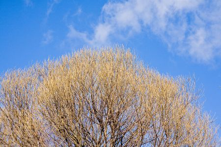 Blossoming poplar on a background of the sky in the spring photo