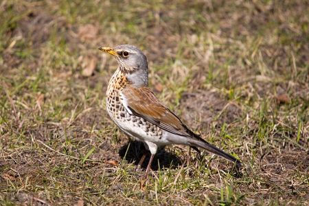 warblers: Fieldfare in a sunny day on a lawn Stock Photo