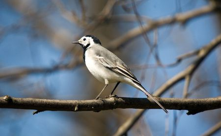Wagtail on a branch of a tree photo