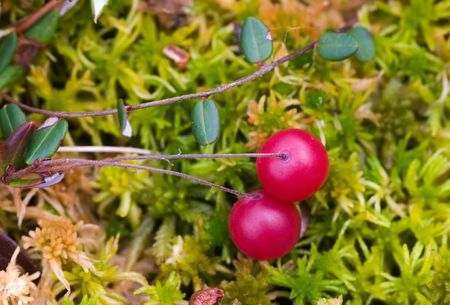 Bush of a cranberry close up on a bog photo