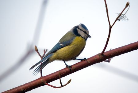 Small titmouse on a branch of a tree Stock Photo - 882276