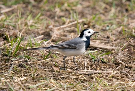 Wagtail on a grass in spring day photo