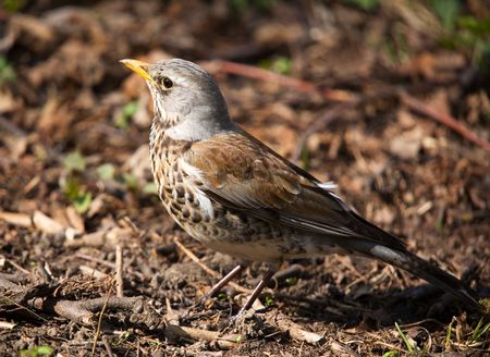 warblers: Fieldfare in a sunny day in park